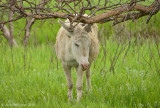 Famous Burros of Custer State Park