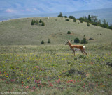 Pronghorn Among the Wildflowers