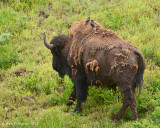 Bison Cow with Brown-headed Cowbirds
