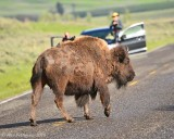 Bison and Cowbirds in the Road