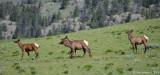Elk Cows