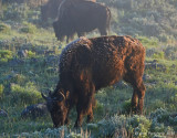 Frosted Bison Yearling