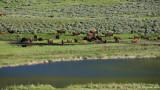 Bison Herd Next to the Lamar River