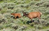 Elk Cow and Calf