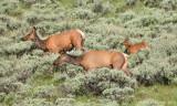 Elk Cows and Calf