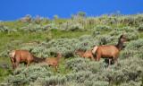 Elk Cows and Calves