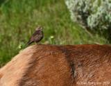 Brown-headed Cowbird Perched on an Elk