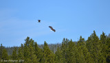 Osprey Chasing a Bald Eagle