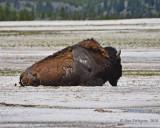Resting Bull Bison
