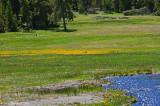 Yellowstone in Bloom