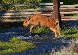 Bison Calf Jumping Stream