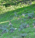 Resting Mule Deer Herd