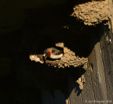 Cliff Swallow Working on Nest