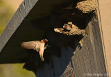 Cliff Swallow Bringing Mud to Mate on Nest