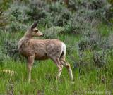 Mule Deer on High Alert