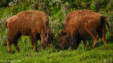 Yearling Bulls Sparring