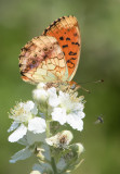 Marbled Fritillary - Brenthis daphne