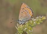 Amanda's blue - Polyommatus amandus (female )