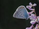 Amanda's blue - Polyommatus amandus