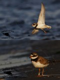 Common Ringed Plover - banded - summer 2017