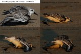 Sanderlings (2) paralyzed by BoNt neurotoxin – Avian Botulism