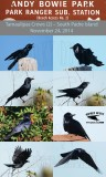 Tamaulipas Crow (Corvus imparatus) - South Padre Island - November 24, 2017