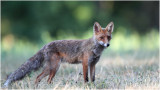 Renard - Fox 7545.jpg
