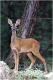 Chevreuil - Roe deer 4779.JPG
