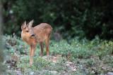 Faon de chevreuil - Roe deer fawn.JPG