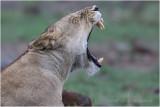 Kenya Masai Mara 2017