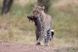 Masai Mara leopards and others 2018