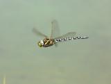 alpine_dragonflies