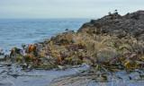 Fur seals and kelp