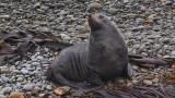 Oamaru fur seal