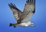 The wings of an Osprey