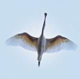 Spoonbill plumage
