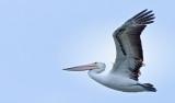 Upbeat pelican!!!
