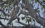 Kalgan River Osprey