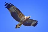 White-bellied Sea Eagle (juvenile)
