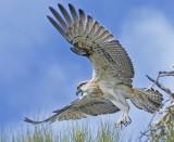 A fledgling Osprey takes flight.