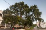 Sobreiro (Árvore de Interesse Público)
