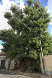 Bela-sombra (Árvore de Interesse Público)