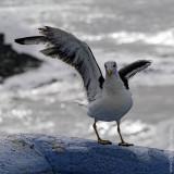 The Seagulls of Ericeira