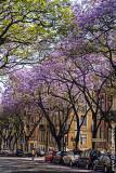 Os Jacarandás de Lisboa