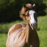 CHEVAUX-HORSES