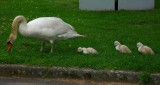 Daily Visit of Swan Family