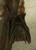 Greater Short-nosed Fruit Bat - Cynopterus sphinx