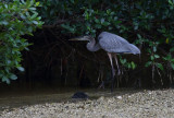 great blue heron in mangrove forest