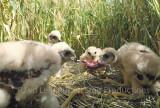 Kuikens in nest met vogelprooi Groningen juli 2017