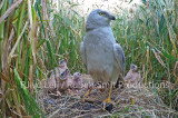 Nest of pallid harrier in the netherlands 8